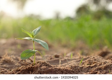 A small tree or young plant that is growing alone And the morning sun shines down.