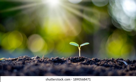 Small trees with green leaves, natural growth, and sunlight, the concept of agriculture, and sustainable plant growth. - Shutterstock ID 1890568471