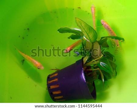 Small Tropical Aquarium Fishes Pot Grass Stock Photo Edit Now