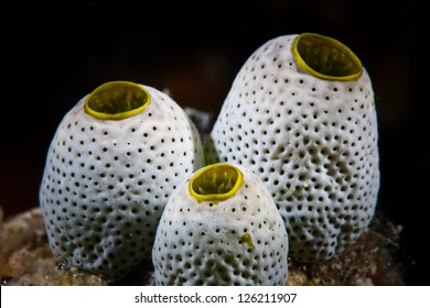 Small tunicates grow on a diverse coral reef in Palau.  Palau's reefs are known for many fish and sharks.