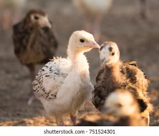 small turkey chickens graze on the farm