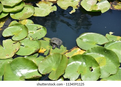 A small turtle climing onto a lily pad in a lake