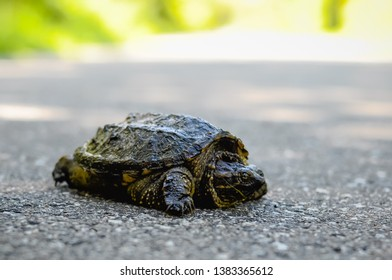 Small turtle crossing paved road.