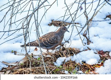 A small turtle dove looks for food in the forest after a recent snow in Zama, Japan.