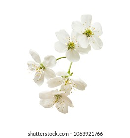 small twig with inflorescence of a white cherry isolated on a white background