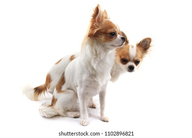 small two chihuahua isolated on the white background
