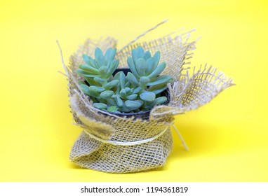 small vase of a succulent plant wrapped in a mesh of sisal