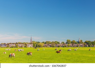 Small village in the Dutch province of Utrecht with cows in front