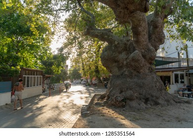In the small village, giant plane tree standing on a street.