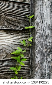 An small vine is growing up against all odds
