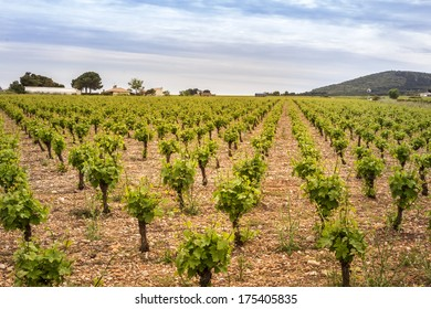 Small vine plants in well cared vineyard