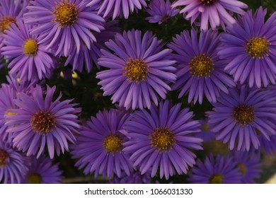 Small violet flowers Aster alpinus. Field of Alpine aster.