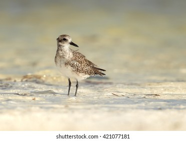 Small wader, Grey Plover, Pluvialis squatarola, spending winter time on white beach of Zanzibar island standing in shallow, warm water. Tanzania, Africa.