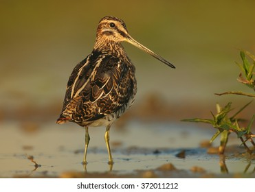 Small wader,migratory bird with long bill,Common Snipe, Gallinago gallinago, brown plumage with straw-yellow stripes standing in shallow, sky reflecting water, rear view,staring directly at camera.