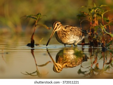 Small wader,migratory bird with long bill,Common Snipe, Gallinago gallinago, brown plumage with straw-yellow stripes feeding in shallow water reflecting bird's silhouette and aquatic plants.