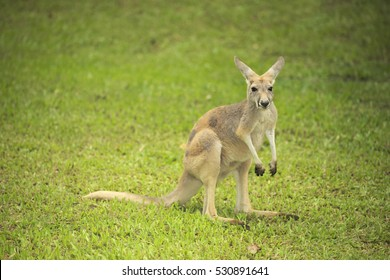 Small Wallaby standing in plain grass background