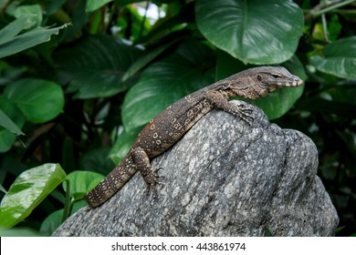 Small Water monitor:Water monitor; Scientific name: Varanus salvator) is a reptile in South Asia and Southeast Asia.by living in areas close to water.