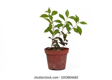 Small Weigela florida Nana Purpurea in pot isolated on white background