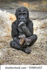 Small Western lowland gorilla (Gorilla gorilla gorilla) is chewing his fingers
