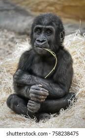 Small Western lowland gorilla (Gorilla gorilla gorilla) is having fun chewing twigs