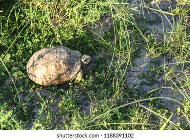 Small Western Ornate Box Turtle in wild  green desert vegetation