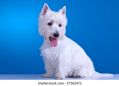 small westie with mouth open on a blue background