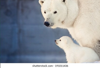 small white bear cub near mother