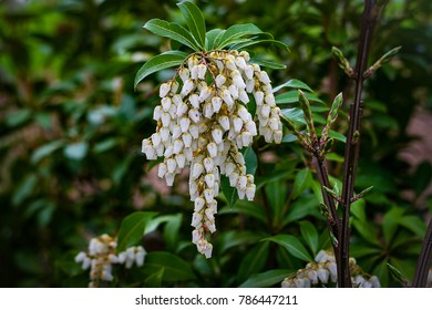 Bell Shaped Flower Cluster Images Stock Photos Vectors Shutterstock