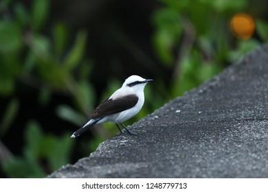 Small white and black bird (Lavandeira masked) in Ilhabela, Brazil
