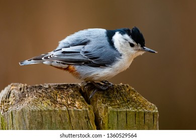 Small White Breasted Nuthatch Closeup