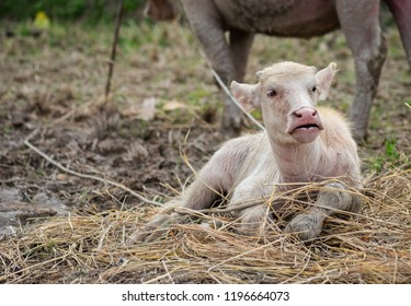 A small white buffalo sat on a straw. The background is a buffalo mother standing not far away.