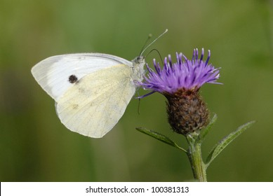 Small White butterfly (Pieris rapae) feeding on black knapweed (Centaurea nigra)
