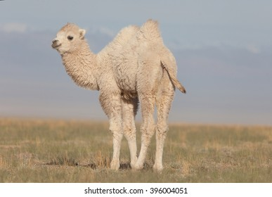 Small white camel in the Asian desert
