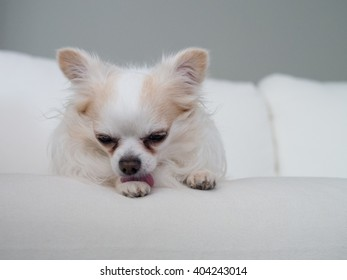 Small white chihuahua puppy licking paw on white sofa with gray wall background, close up, front view