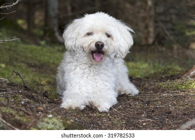 A small white Cockapoo dog pants as it takes a rest from a hike through a forest -  Haliburon, Ontario, Canada
