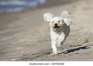 Small White Cockapoo Dog Runs Toward Camera on a Sandy Beach