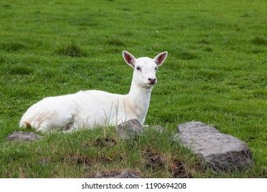 A small white deer laying on a hillside next to rocks with a vibrant green grass background.