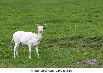 A small white deer standing on a hillside of vibrant green spring grass with white wildflowers.