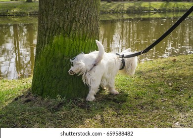 Small white dog cocks its leg on a mossy tree