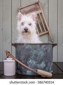 A small white dog gets a bath.