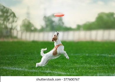 small white dog is going to jump to get the plastic disk