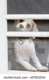 Small white dog looks curiously out the screen door