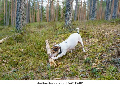 Small white dog playing with the wood stick