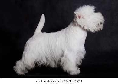 A small white dog of the West Highland White Terrier breed is standing in a stand on a black background