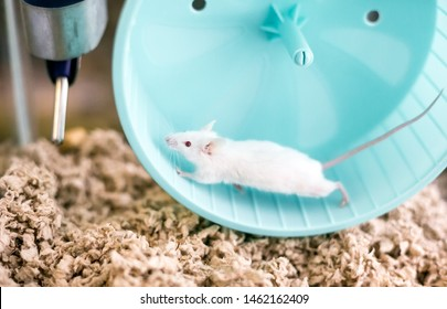 A small white domesticated pet mouse with red eyes running on an exercise wheel in its cage