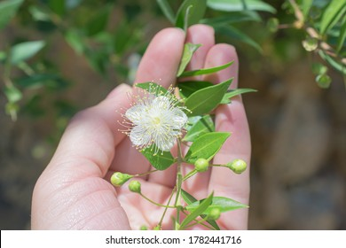 Small white evergreen myrtle (myrtus) flower in the womans hand