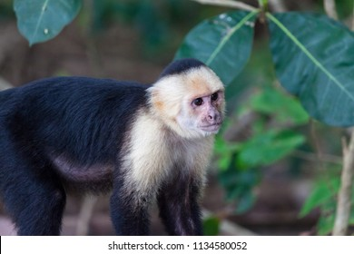 A small white faced monkey in Manuel Antonio natural park in Costa Rica.
