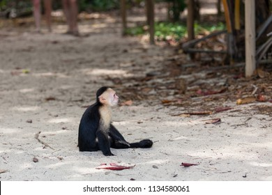 A small white faced monkey sitting in the sand by the beach in Manuel Antonio natural park in Costa Rica.