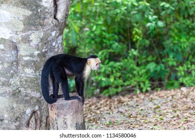 A small white faced monkey standing on a stump in Manuel Antonio natural park in Costa Rica.