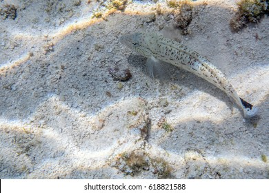Small white fish on a white coral sand